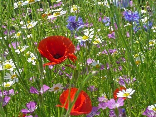 Wild Flower Seed Mix