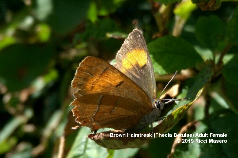 Brown Hairstreak Butterfly - Adult Female